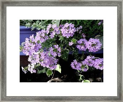 Lovely In Lavender Framed Print by Kate Gallagher