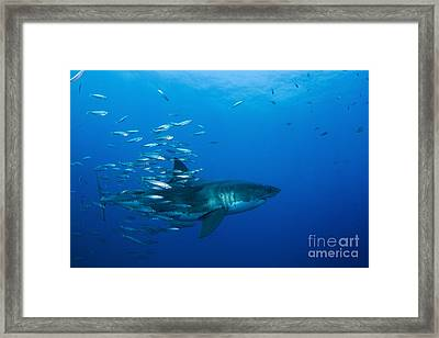 Male Great White Shark And Bait Fish Framed Print by Todd Winner