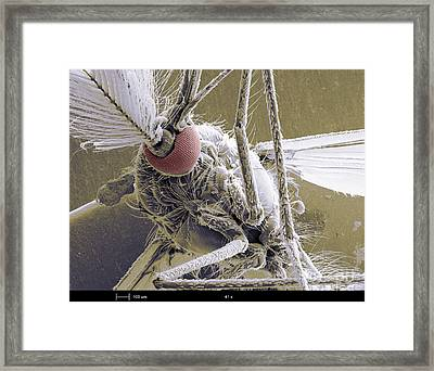 Male Mosquito Framed Print by Ted Kinsman