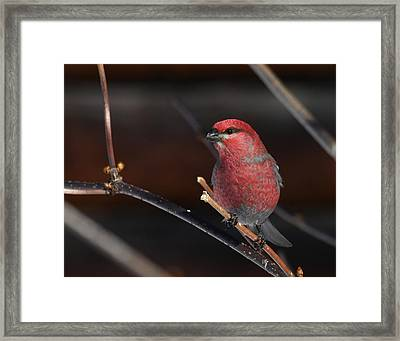 Male Pine Grosbeak Framed Print