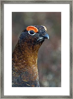 Male Red Grouse Framed Print by Duncan Shaw