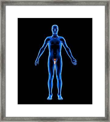 Male Urogenital System, Artwork Framed Print by Roger Harris