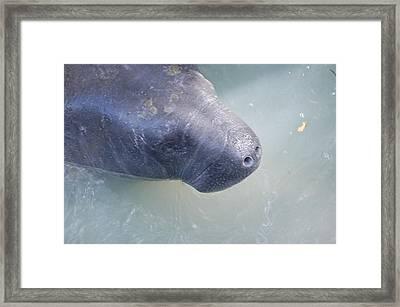 Manatee Framed Print by Randy J Heath