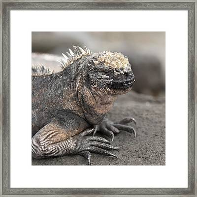 Marine Iguana Amblyrhynchus Cristatus Framed Print by Keith Levit