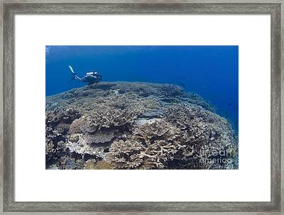Masses Of Staghorn Coral, Papua New Framed Print by Steve Jones