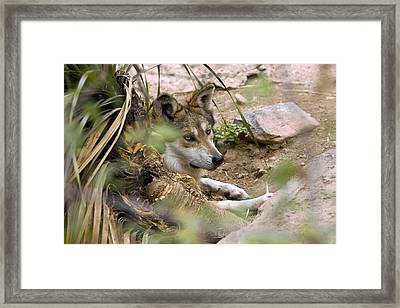 Mexican Gray Wolf Framed Print by Bob Gibbons