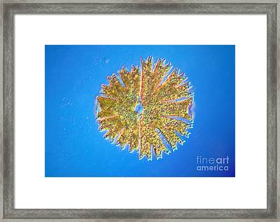 Micrasterias Framed Print by Michael Abbey and Photo Researchers