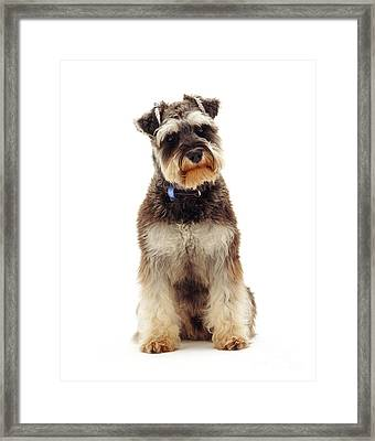 Miniature Schnauzer Framed Print by Jane Burton