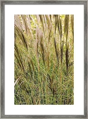 Miscanthus 'kleine Silberspinne' Framed Print by Adrian Thomas