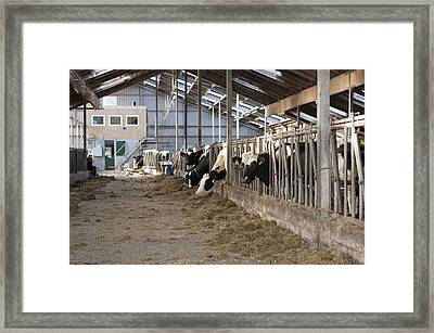 Modern Dairy Stable With Several Cows Framed Print