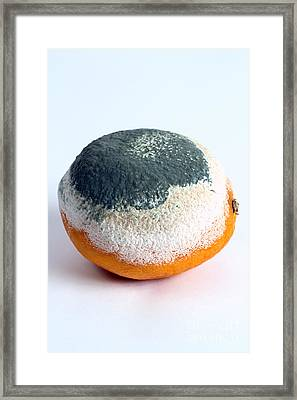Moldy Orange Framed Print by Photo Researchers, Inc.