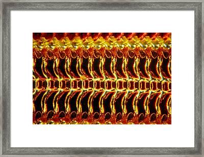 Mollusc Radula, Light Micrograph Framed Print by Dr Keith Wheeler