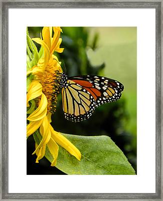 Monarch And The Sunflower Framed Print