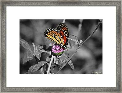 Monarch Butterfly On Clover Framed Print