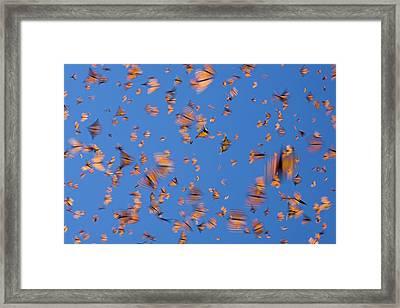 Monarch Danaus Plexippus Butterflies Framed Print by Ingo Arndt