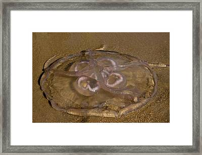 Moon Jellyfish Framed Print by Betsy Knapp