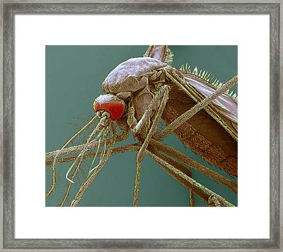 Mosquito, Sem Framed Print by Steve Gschmeissner