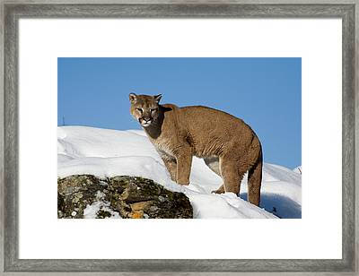 Mountain Lion Puma Concolor Framed Print