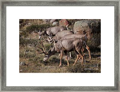 Mule Deer Bucks Framed Print