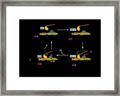 Muscle Contraction, Artwork Framed Print by Francis Leroy, Biocosmos