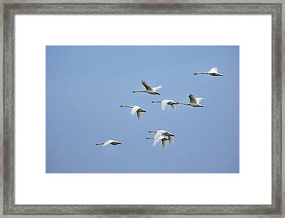 Mute Swans Framed Print by Duncan Shaw