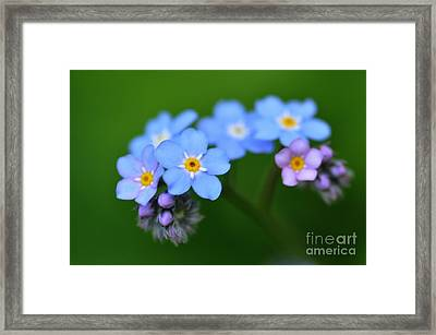 Framed Print featuring the photograph Myosotis by Sylvie Leandre