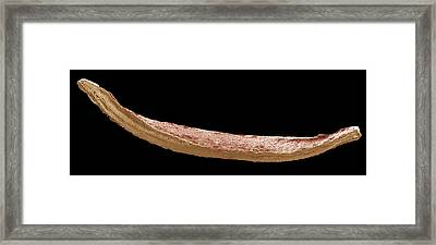 Nail Clipping, Sem Framed Print by Steve Gschmeissner