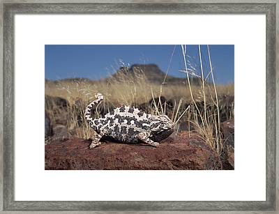 Namaqua Chameleon Chamaeleo Namaquensis Framed Print