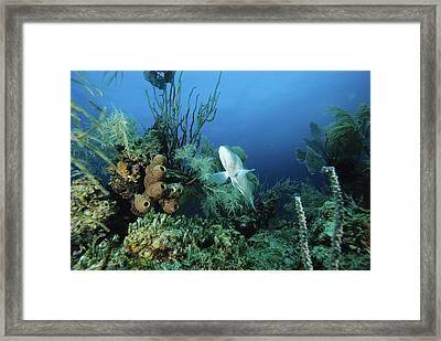 Nassau Grouper Framed Print by Alexis Rosenfeld