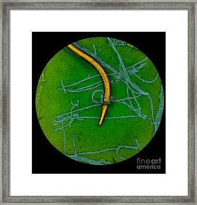 Nematode Snared By Predatory Fungus Lm Framed Print by Photo Researchers, Inc.