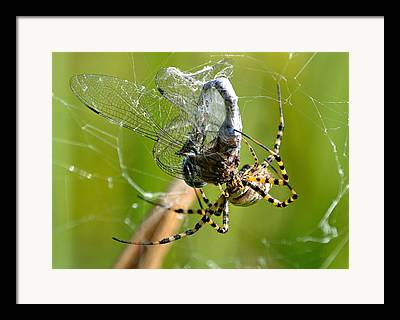 Dragonfly Caught In Spiders Web Framed Prints