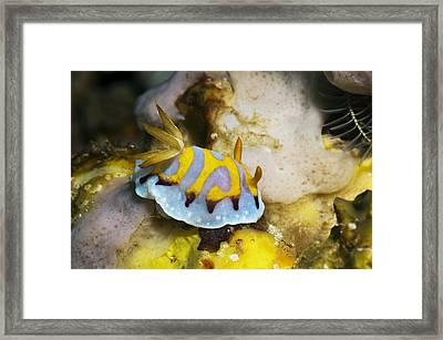 Nudibranch Framed Print by Georgette Douwma