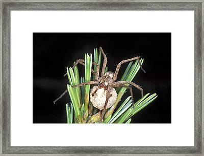 Nursery Spider Framed Print by Dr Keith Wheeler