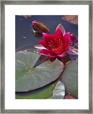 Nymphaeaceae Framed Print