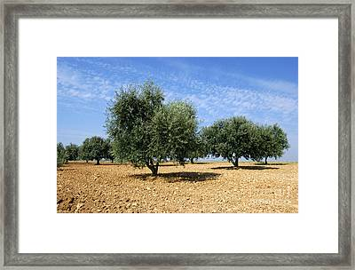 Olives Tree In Provence Framed Print by Bernard Jaubert