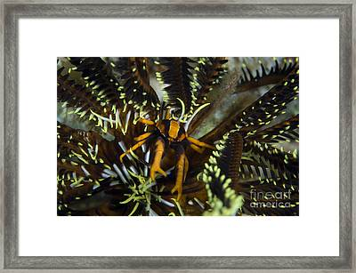 Orange And Brown Elegant Squat Lobster Framed Print by Steve Jones
