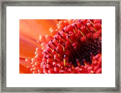 Orange Gerbera Close Up Framed Print by Fiona Messenger