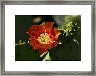 Orange Prickly Pear Blossom  Framed Print by Saija  Lehtonen