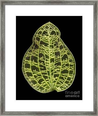 Orchid Leaf Framed Print by Ted Kinsman