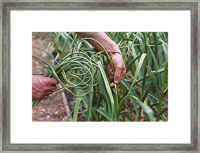 Organic Serpent Garlic Framed Print by Maxine Adcock