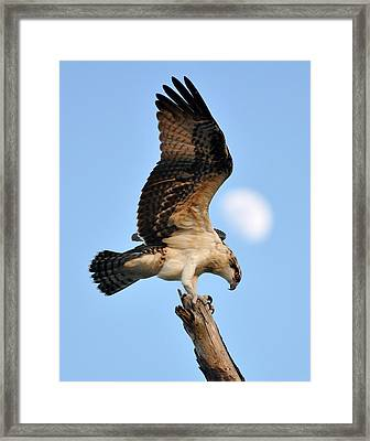 Osprey In Flight Framed Print by Rick Frost