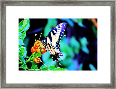 Pale Swallowtail Butterfly Framed Print by Barry Jones