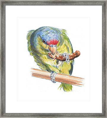 Parrot Eating Toast Framed Print by Maureen Carter