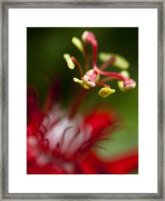 Passiflora Flower Framed Print