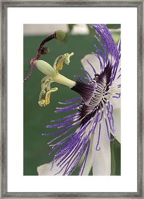 Passion Flower Framed Print by Archie Young