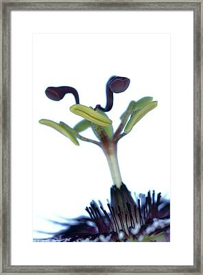 Passion Flower (passiflora Amethystina) Framed Print by Lawrence Lawry