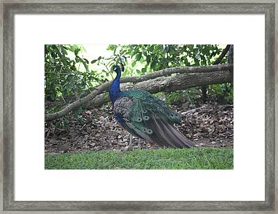 Framed Print featuring the photograph Peacock by Donna  Smith