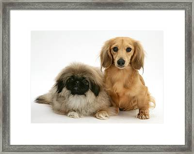 Pekingese And Dachshund Puppies Framed Print by Jane Burton