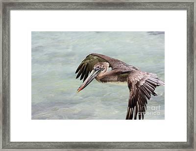 Pelican Framed Print by Sophie Vigneault