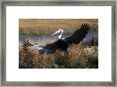 Pelican Wings Framed Print by Paulette Thomas